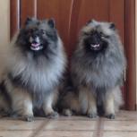 Породные щенки вольфшпица (кеесхонда), Ставрополь